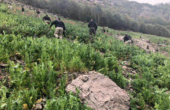 Destruyen tres plantíos de amapola; suman 9 en menos de una semana